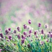 Lavender in the field Wallpaper